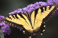 Mariposa amarilla de Swallowtail Imagenes de archivo