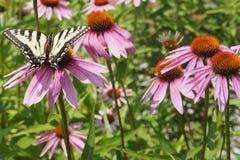 Mariposa amarilla de Swallowtail en un Coneflower púrpura Imagen de archivo