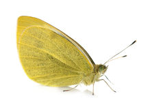 Mariposa amarilla del Pieridae Imagenes de archivo
