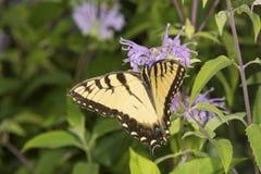 Mariposa amarilla del swallowtail que forrajea en flowe del bálsamo de abeja de la lavanda Foto de archivo