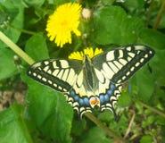 Mariposa amarilla en el diente de león Fotografía de archivo