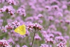 Mariposa amarilla en flores púrpuras Fotografía de archivo