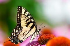 Mariposa amarilla en la flor rosada fotografía de archivo libre de regalías