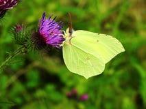 Mariposa amarilla en la flor violeta, Lituania fotografía de archivo libre de regalías