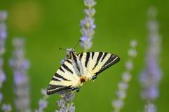 Mariposa amarilla en la lavanda floreciente fotos de archivo