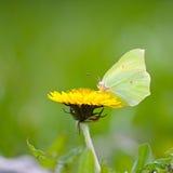 Mariposa amarilla en las flores amarillas Imagen de archivo