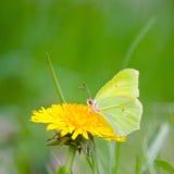 Mariposa amarilla en las flores amarillas Fotografía de archivo libre de regalías
