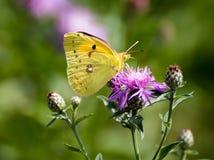 Mariposa amarilla en una flor Fotos de archivo