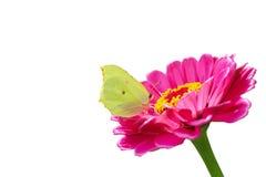 Mariposa amarilla en una flor rosada aislada en un blanco Imágenes de archivo libres de regalías