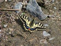 Mariposa amarilla hermosa - una foto 3 Fotos de archivo libres de regalías
