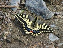 Mariposa amarilla hermosa - una foto 4 Fotografía de archivo