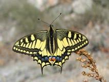 Mariposa amarilla hermosa - una foto 10 Imagen de archivo libre de regalías