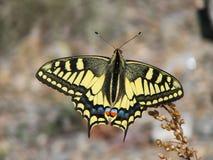 Mariposa amarilla hermosa - una foto 7 Imagen de archivo