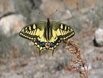 Mariposa amarilla hermosa - una foto 9 Imagen de archivo libre de regalías