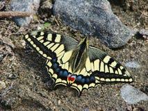 Mariposa amarilla hermosa - una foto 5 Foto de archivo