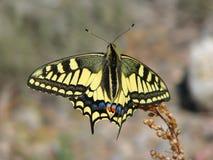 Mariposa amarilla hermosa - una foto 8 Foto de archivo libre de regalías