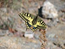 Mariposa amarilla hermosa - una foto 6 Imagen de archivo