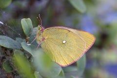 Mariposa amarilla nublada paramera Imágenes de archivo libres de regalías