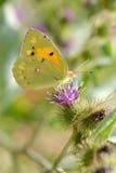 Mariposa amarilla nublada que introduce en la flor Imagenes de archivo