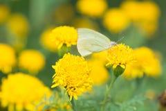 Mariposa amarilla que chupa el néctar de las flores Fotografía de archivo libre de regalías