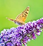 Mariposa amarilla que pone en la flor púrpura hermosa Fotos de archivo