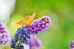 Mariposa amarilla que pone en la flor púrpura hermosa Fotografía de archivo libre de regalías