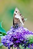 Mariposa amarilla que pone en la flor púrpura hermosa Fotos de archivo libres de regalías