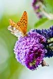 Mariposa amarilla que pone en la flor púrpura hermosa Imagen de archivo libre de regalías