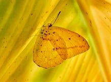 Mariposa amarilla sobre hoja de platano 免版税库存图片