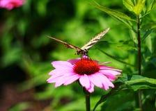Mariposa amarilla y negra en la flor rosada imagen de archivo libre de regalías