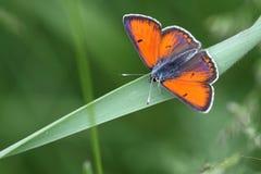 Mariposa anaranjada Foto de archivo