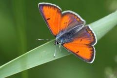Mariposa anaranjada Fotografía de archivo