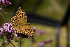Mariposa anaranjada Imágenes de archivo libres de regalías
