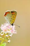 Mariposa anaranjada Imagen de archivo libre de regalías