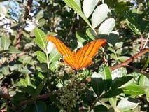Mariposa anaranjada Fotografía de archivo libre de regalías