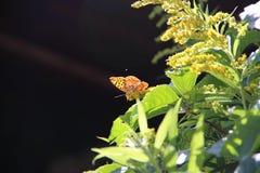 Mariposa anaranjada Fotos de archivo libres de regalías