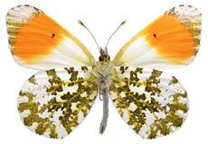 Mariposa anaranjada aislada de la extremidad Imagen de archivo