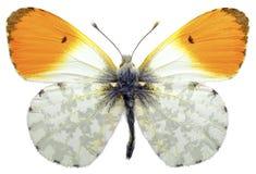Mariposa anaranjada aislada de la extremidad Imagen de archivo libre de regalías