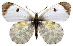 Mariposa anaranjada aislada de la extremidad Fotografía de archivo libre de regalías