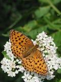 Mariposa anaranjada brillante en el flor blanco imágenes de archivo libres de regalías