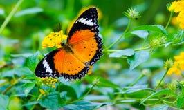 Mariposa anaranjada del Lacewing en la flor amarilla fotos de archivo libres de regalías