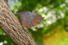 Mariposa anaranjada del oakleaf con la adaptación del camuflaje de la hoja del roble, conocida científico como inachus de Kallima Imagenes de archivo