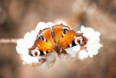 Mariposa anaranjada del pavo real europeo en una flor blanca Fotos de archivo