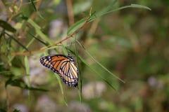 Mariposa anaranjada del virrey en la hoja delgada foto de archivo