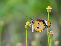 Mariposa anaranjada en el amarillo blanco de la flor de la hierba Empañe el fondo natural en tonos verdes Imagen de archivo libre de regalías