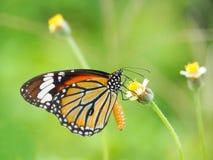 Mariposa anaranjada en el amarillo blanco de la flor de la hierba Empañe el fondo natural en tonos verdes Fotos de archivo libres de regalías