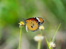 Mariposa anaranjada en el amarillo blanco de la flor de la hierba Empañe el fondo natural en tonos verdes Imagen de archivo