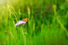Mariposa anaranjada en escabioso caucásico púrpura Imagen de archivo libre de regalías