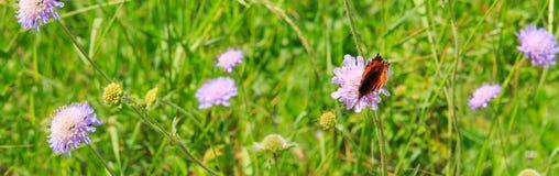 Mariposa anaranjada en escabioso caucásico púrpura Fotos de archivo libres de regalías