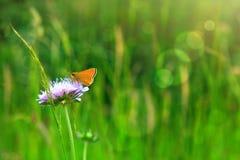 Mariposa anaranjada en escabioso caucásico púrpura Imágenes de archivo libres de regalías